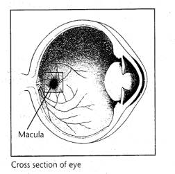 Cross Section of eye to understand macular degeneration